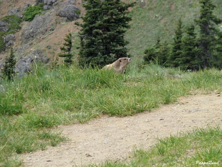 IMG_7279 olympic marmot
