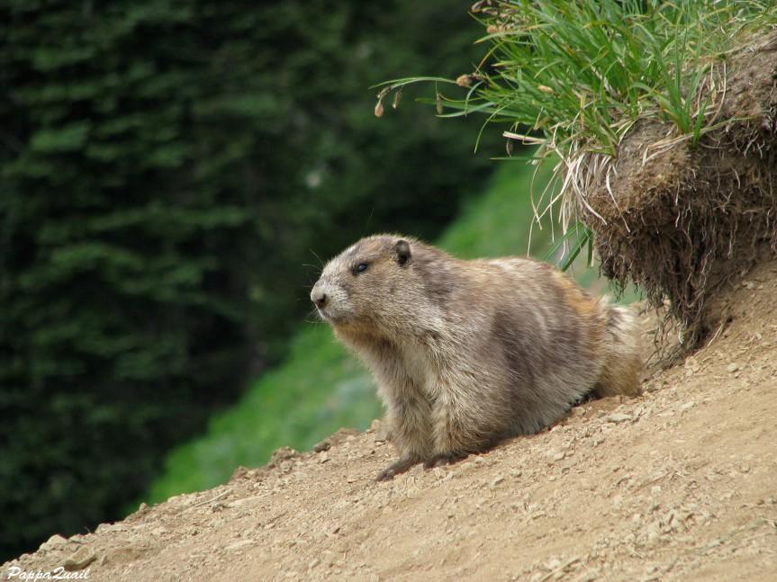 IMG_7294 olympic marmot