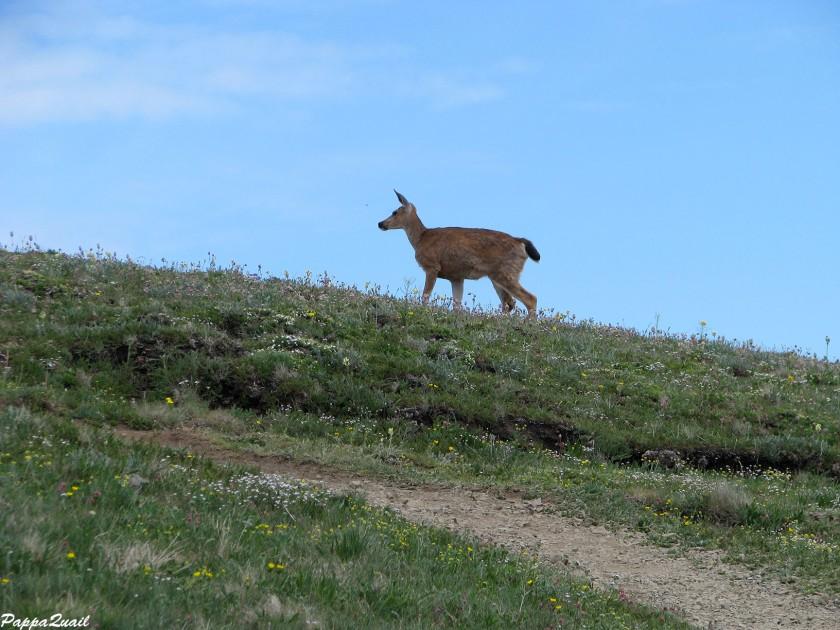 IMG_7326 mule deer