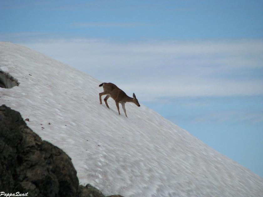 IMG_7339 mule deer