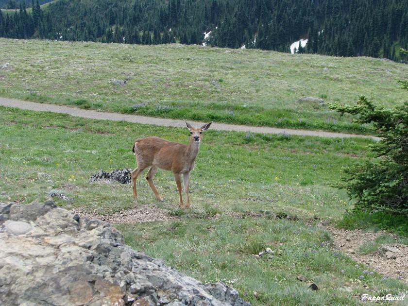 IMG_7364 mule deer
