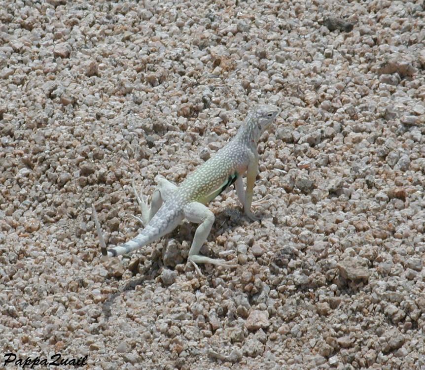 DSCN1492 zebra tailed lizard