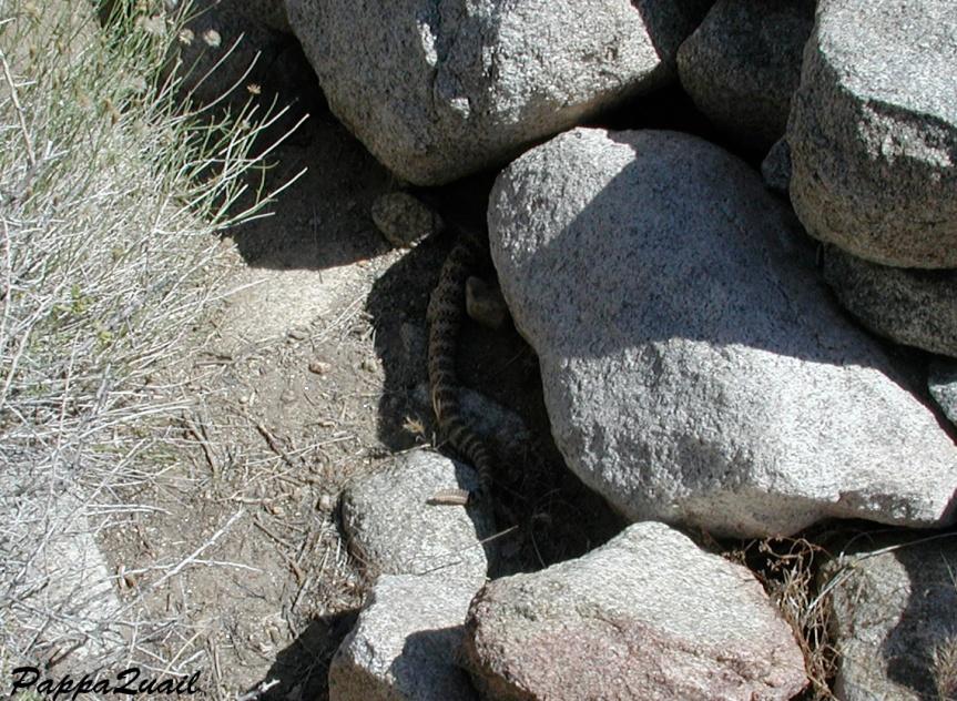 DSCN1505 rattlesnake