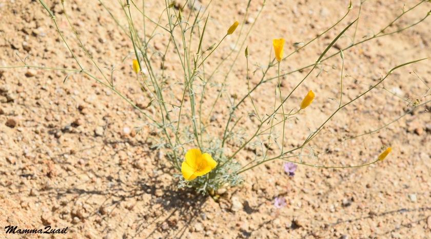 DSD_0050 pygmy poppy
