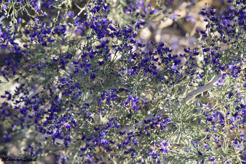 DSD_0333 indigo bush