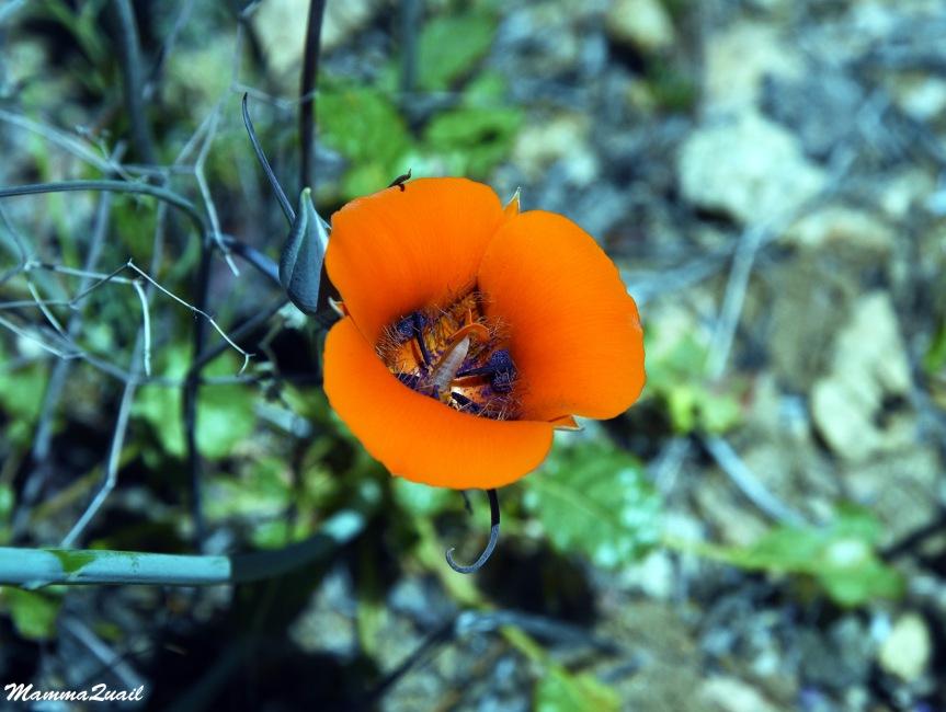 DSD_0769 desert mariposa lily
