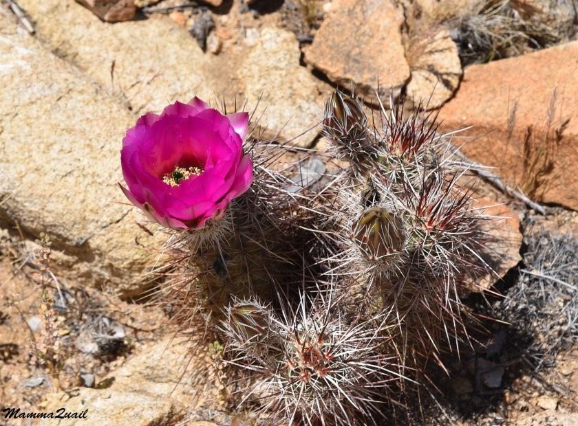DSD_1013 hedgehog cactus