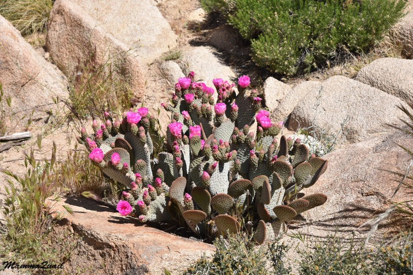 DSD_8735 beavertail cactus