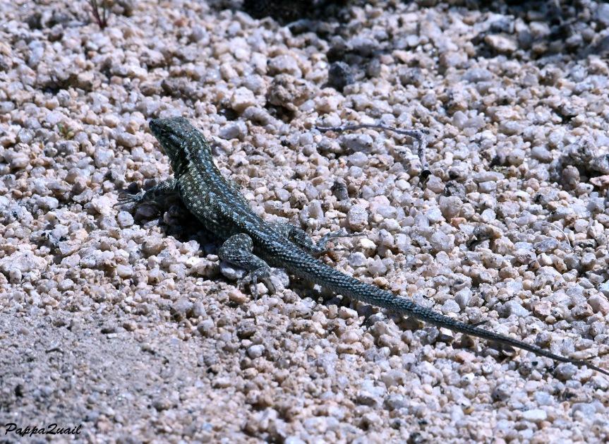DSF_1855 sagebrush lizard