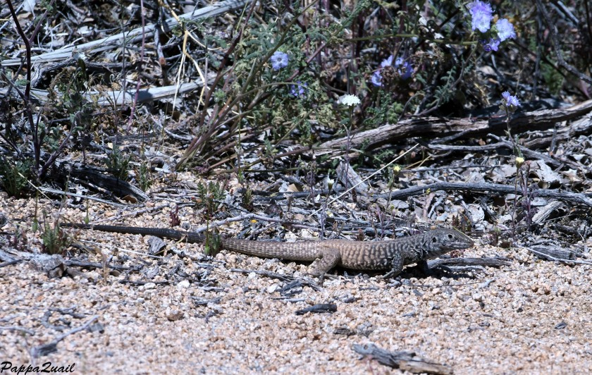 DSF_1871 western whiptail