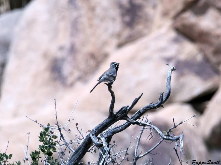 DSF_1887 black throated sparrow