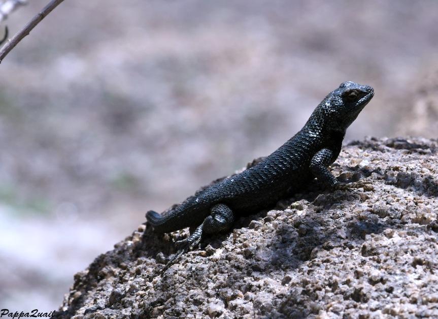 DSF_2127 granite spiny lizard