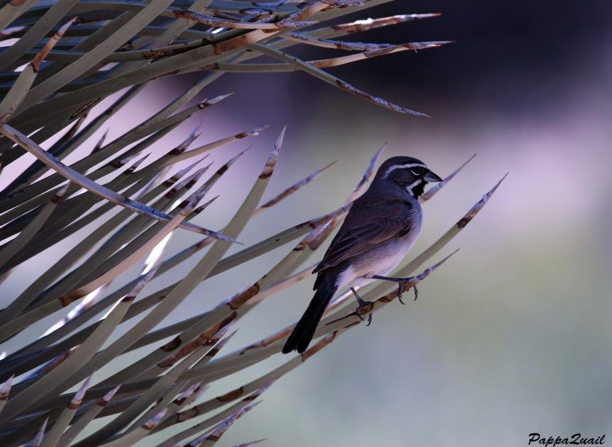 DSF_2188 black throated sparrow