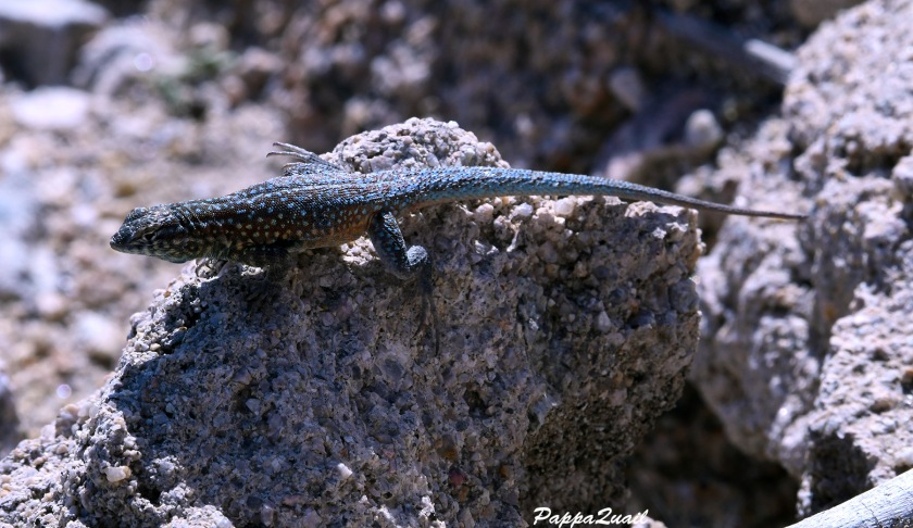 DSF_2339 common side bloched lizard