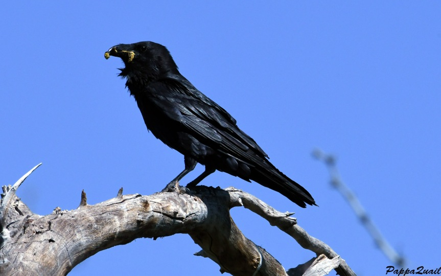 DSF_2443 common raven