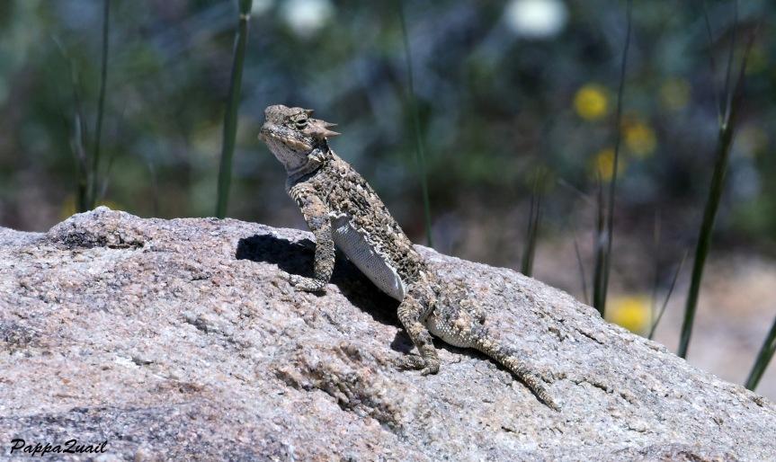 DSF_2504 desert horned lizard