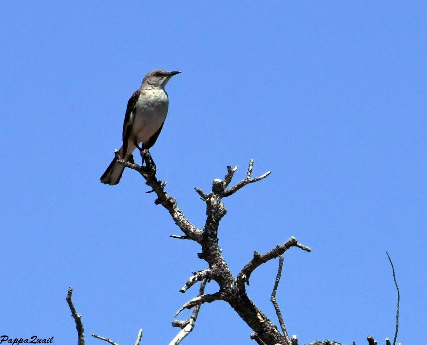 DSF_2523 northern mockingbird