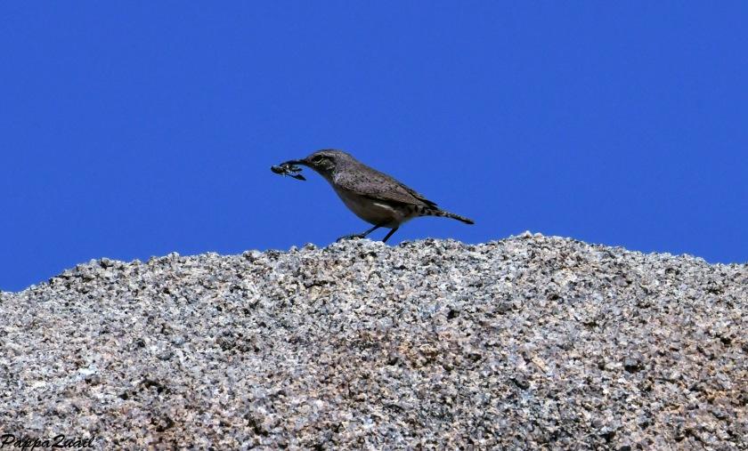 DSF_2551 rock wren