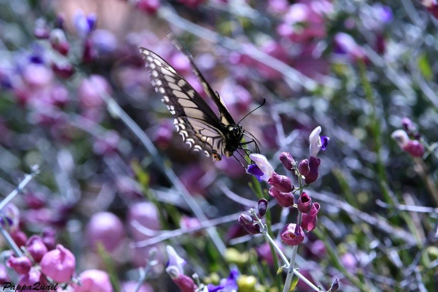 DSF_2593 swallowtail