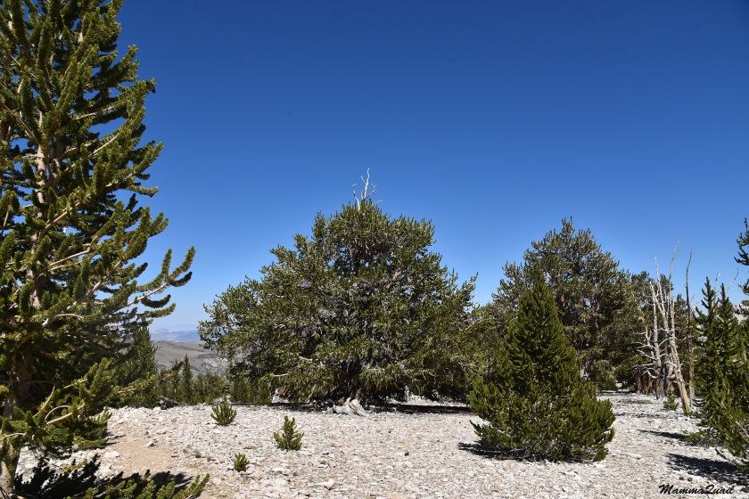 DSD_7398 bristlecone patriarch tree