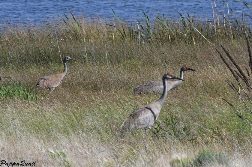 DSF_3407 crane family w juvenile