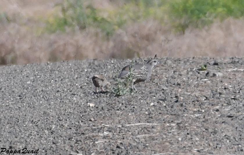 DSF_3483 quail baby