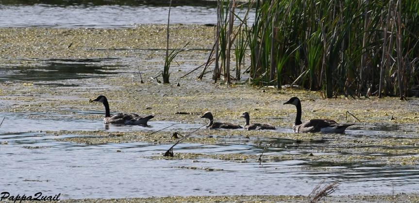 DSF_3593 canada goose family