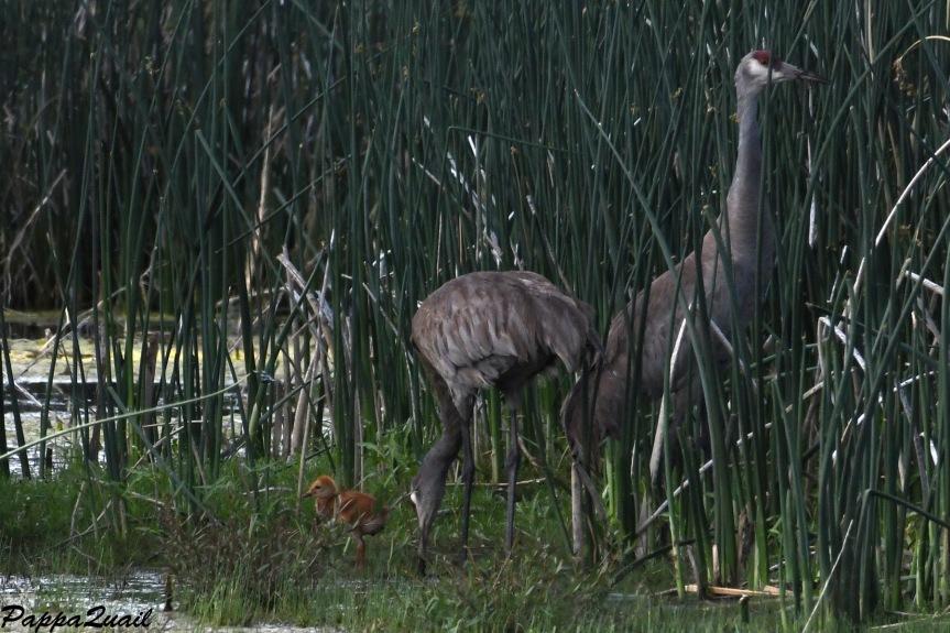 DSF_3712 crane family w baby
