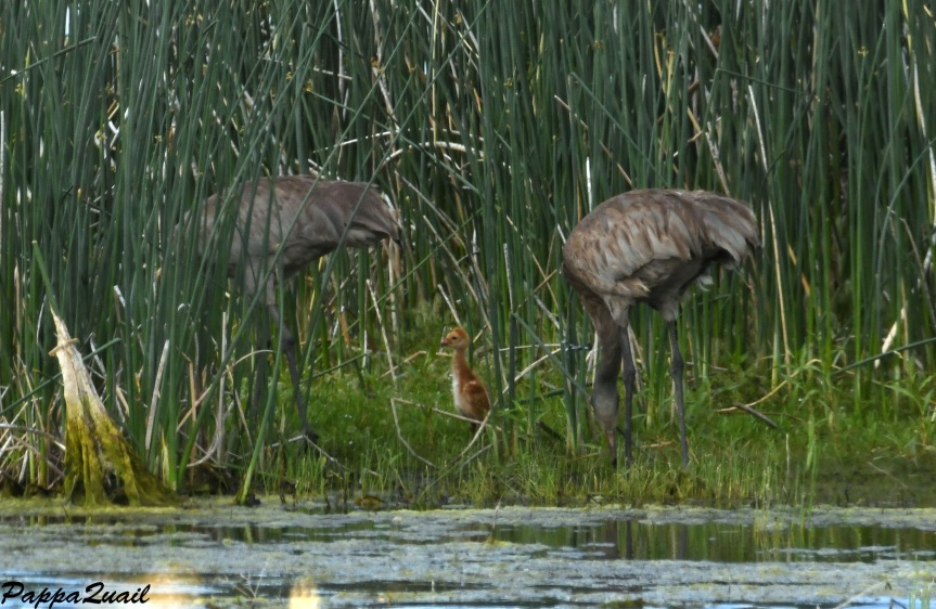 DSF_3735 crane family w baby
