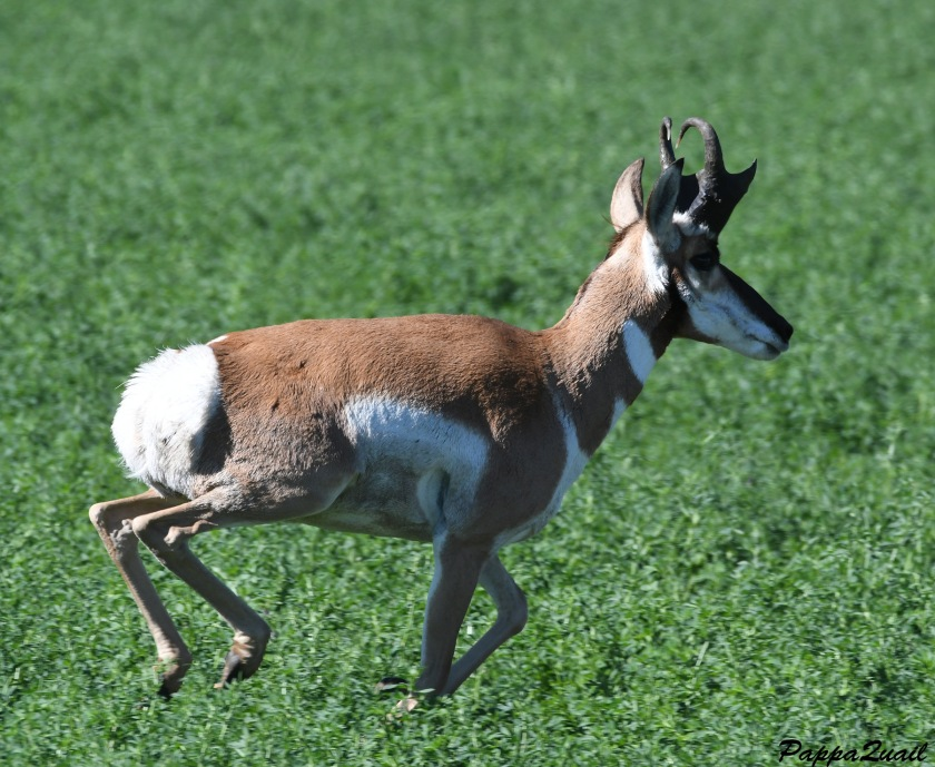 DSF_3803 pronghorn adult