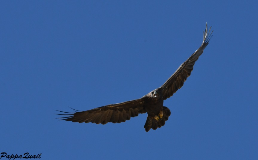 DSF_3906 golden eagle