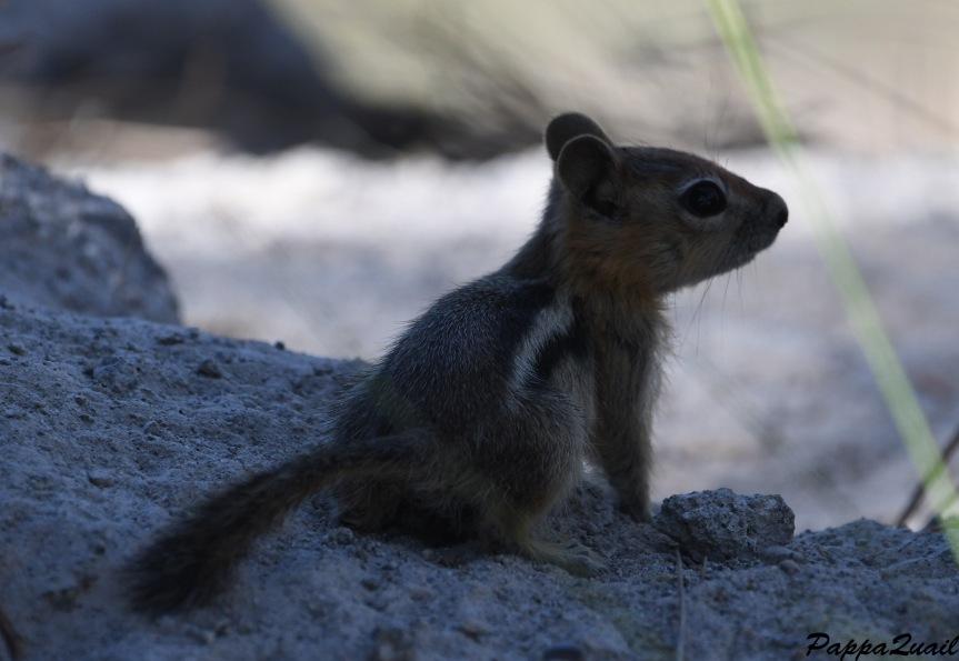 DSF_4055 squirrel baby