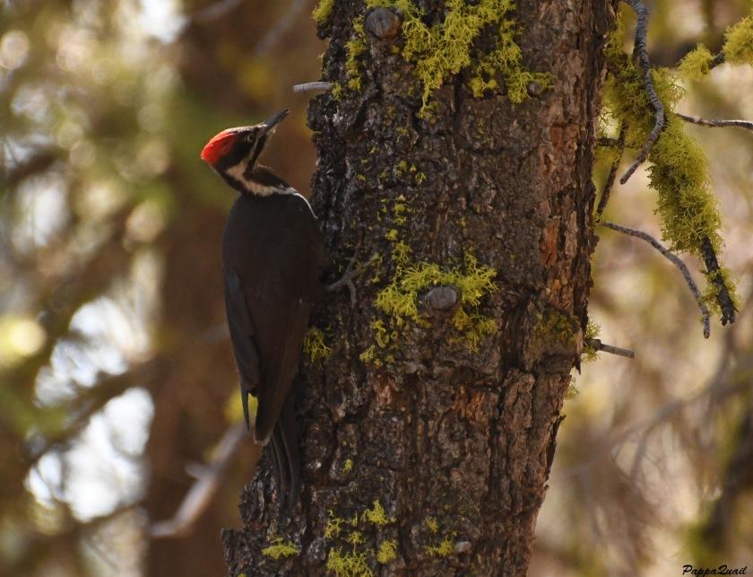 DSF_4115 pileated woodpecker