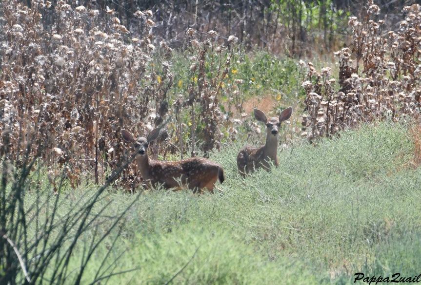 DSF_4258 mule deer baby