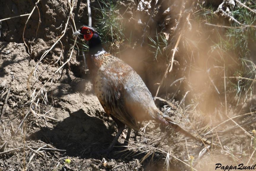 DSF_4322 pheasant adult