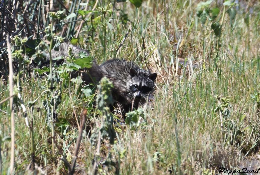 DSF_4346 raccoon baby