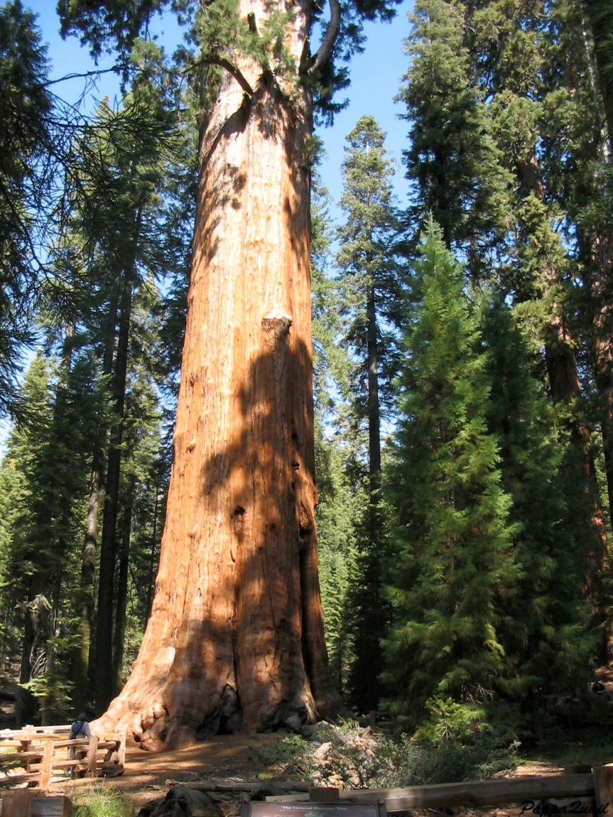 IMG_0799 sequoia sherman