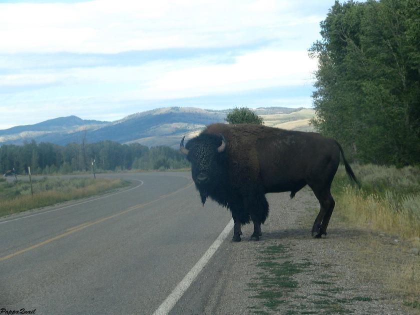 IMG_4197 bison 1