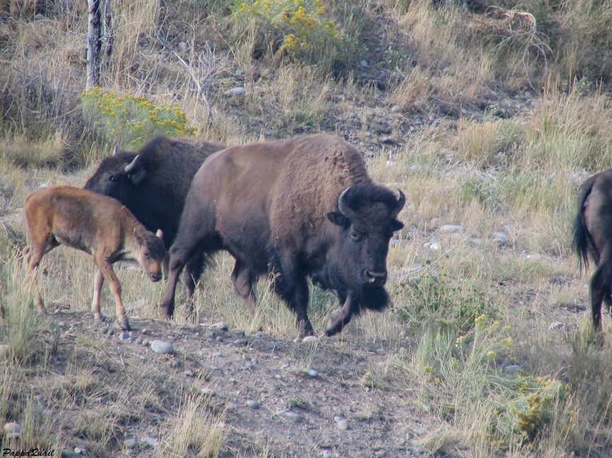 IMG_4209 bison 2