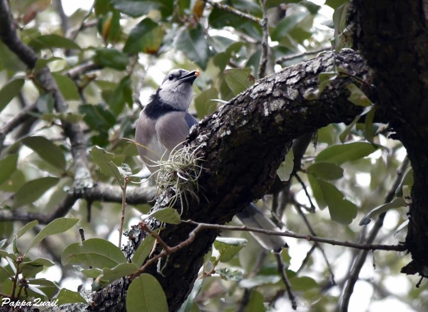 DSD_6636 Blue Jay