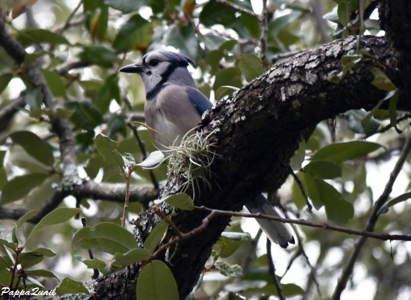 DSD_6652 Blue Jay