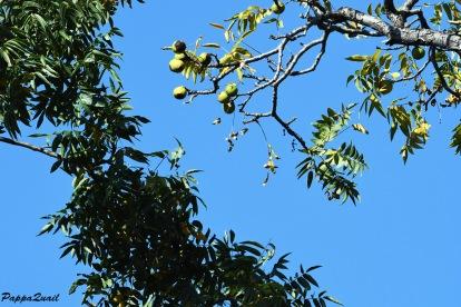 אגוזים על העץ