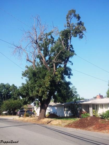 הרחוב ועץ האגוז