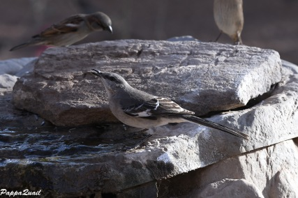 Northern Mockingbird and House Sparrows