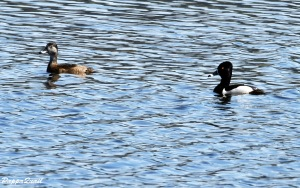 Ring-necked Duck, male and female