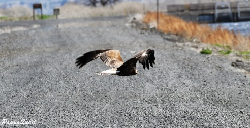 Golden Eagle, juvenile