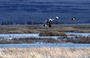 Greater White-fronted Goose and Northern Shovelers
