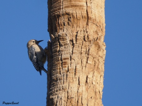 Gila Woodpecker - male