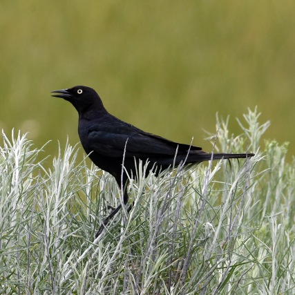 Brewer's Blackbird - male