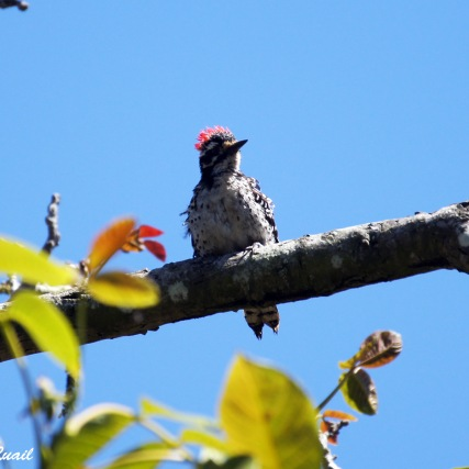 Nuttall's Woodpecker - male